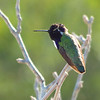 Costa's Hummingbird by guide Micah Riegner