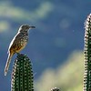 Gray Thrasher by guide Micah Riegner
