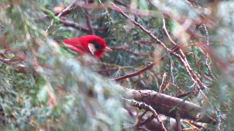 A Red Warbler peeks out from a conifer by guide Micah Riegner