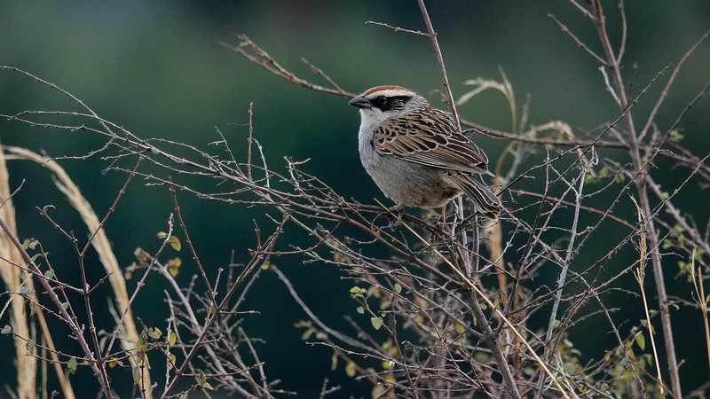 Striped Sparrow by guide Micah Riegner