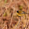Black-polled Yellowthroat by guide Micah Riegner