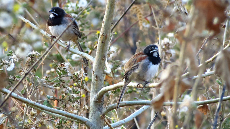 Black-chested Sparrows, by guide Micah Riegner