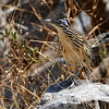 Lesser Roadrunner by guide Micah Riegner