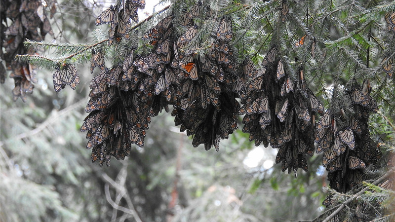 Monarchs form hanging baskets on the conifer branches. Photo by guide Jesse Fagan.