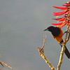 Black-vented Orioles in Erythrina blossoms by guide Micah Riegner