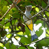 Lovely Gray Silky-flycatcher by guide Micah Riegner