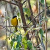 Hooded Yellowthroat by guide Micah Riegner