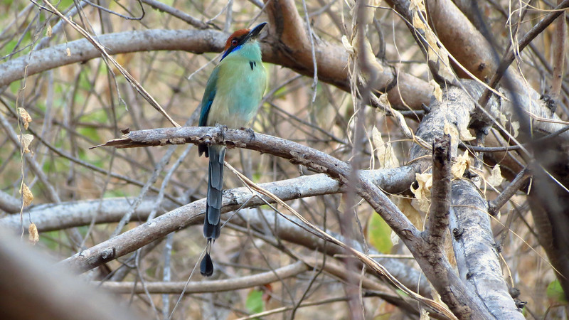 Russet-crowned Motmot by guide Micah Riegner