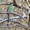 Russet-crowned Motmot, by guide Micah Riegner.