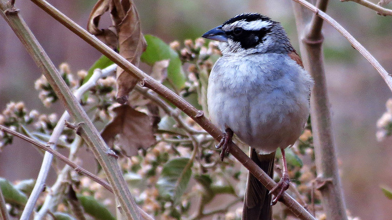 The striking Stripe-headed Sparrow, by guide Micah Riegner.
