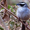 Stripe-headed Sparrow by guide Micah Riegner