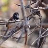 Black-chested Sparrow by guide Micah Riegner
