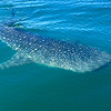 Whale Shark, largest of all the fish, by FG friend Darcy Bontempo.