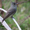 Greater Pewee by guide Micah Riegner