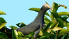 The impressive White-crowned Pigeon, by participant Johanne Charbonneau