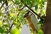 Boat-billed Heron by participant Jeanette Shores