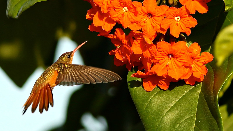 We begin this series of images from our 2015 tour with a Cinnamon Hummingbird in this fine setting by participant Johanne Charbonneau.