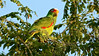 White-fronted Parrot is one of several psittacids we'll get to see. Photo by participant Johanne Charbonneau.