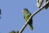 White-fronted Parrot by guide Chris Benesh