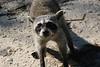 Dwarf Raccoon by participant Bruce Sorrie