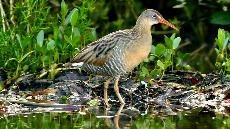 Clapper Rail is among a variety of species we should see at water's edge. Photo by participant Johanne Charbonneau.
