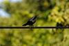 Black Catbird by participant Jeanette Shores