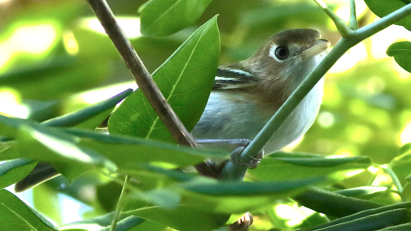 Cozumel Vireo, as its name implies, is restricted only to that island! Photo by participant Johanne Charbonneau.