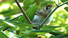Cozumel Vireo, restricted to that island, by participant Johanne Charbonneau