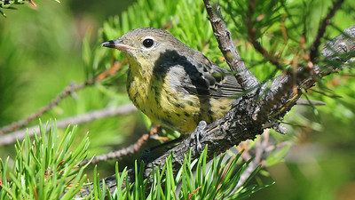 Kirtland's Warbler, by guide Cory Gregory