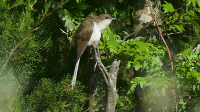 Black-billed Cuckoo, by guide Cory Gregory