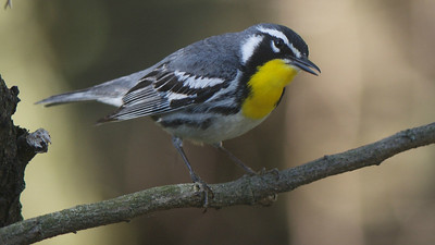 Yellow-throated Warbler, by guide Cory Gregory