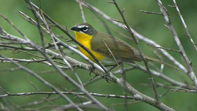 Yellow-breasted Chat, by guide Cory Gregory