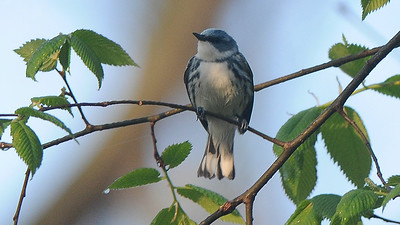Cerulean Warbler, by guide Cory Gregory