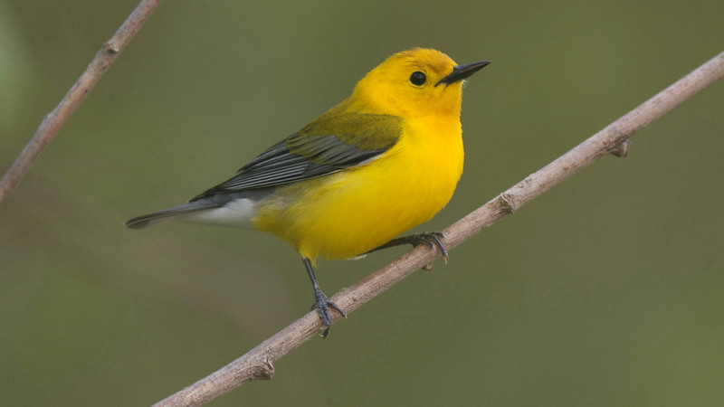 Prothonotary Warbler by guide Cory Gregory