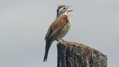 Dickcissel, by guide Cory Gregory