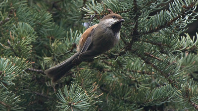 Boreal Chickadee, by guide Cory Gregory