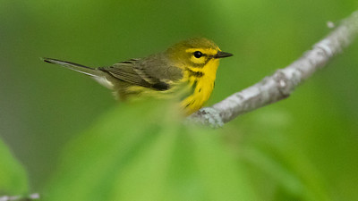 Prairie Warbler, by guide Cory Gregory