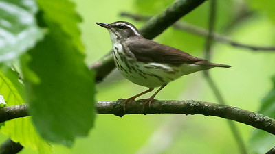 Louisiana Waterthrush, by guide Cory Gregory