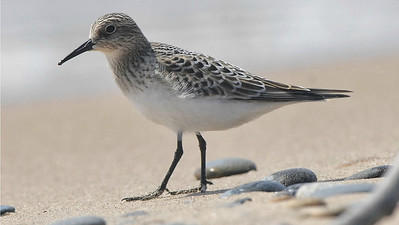Baird's Sandpiper, by guide Cory Gregory