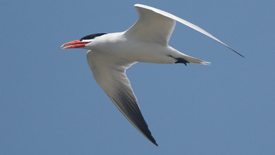 Caspian Tern, by guide Cory Gregory