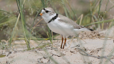 Piping Plover, by guide Cory Gregory
