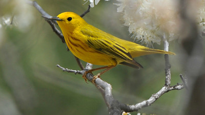 Yellow Warbler, by guide Cory Gregory