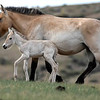 Przewalski's Horse with foal, by participant Becky Hansen.