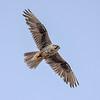 Saker Falcon, by participant Becky Hansen.