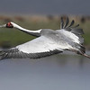 Magnificent White-naped Crane by participant Becky Hansen