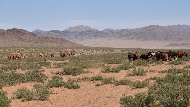 Bactrian Camels and horses near Dasinchilen Lake, by participant Daphne Gemmill.
