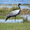 Demoiselle Crane by guide Phil Gregory