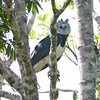 Harpy Eagle by participant Valerie Gebert