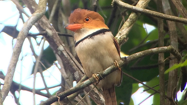 A lovely Collared Puffbird at Carajas, by guide Dave Stejskal.