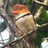 A lovely Collared Puffbird at Carajas by guide Dave Stejskal